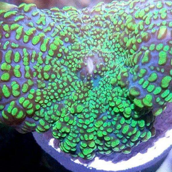 Purple and Green Rhodactis