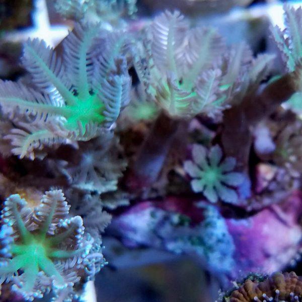 Australian Palm Polyps
