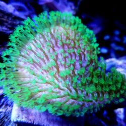 Tyree Green Polyp Toadstool 1 inch