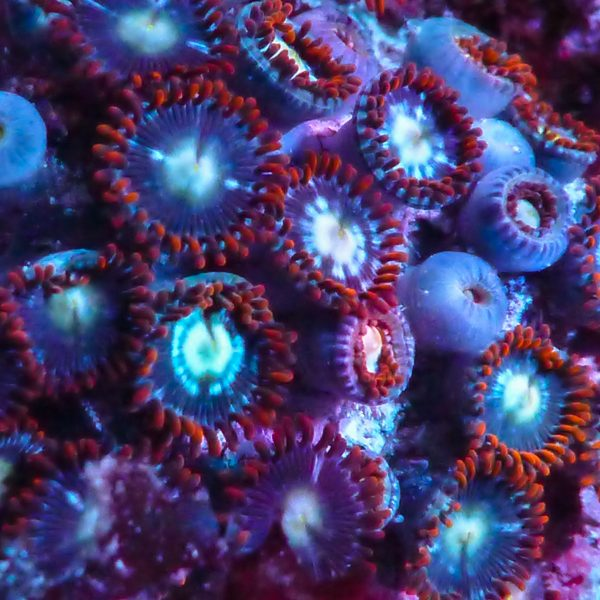 fire & ice zoanthids