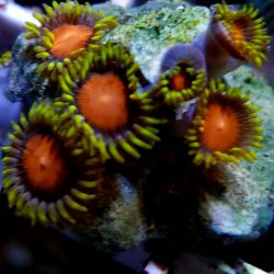Demon Eye Zoas