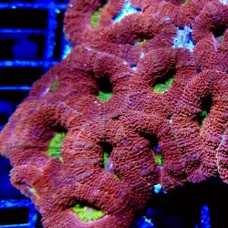 Red and Gold Acan Bowerbanki